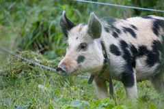 black and  white pig Stock Image