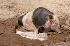 Black and white pig wallows in sludge Stock Photos