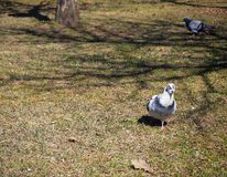 Black and white pigeon in the park royalty free stock photos