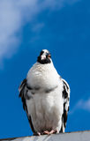 Black and white pigeon perched facing facing forward. Royalty Free Stock Images