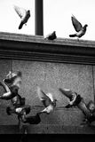 Black and White of Pigeons Flying Royalty Free Stock Image