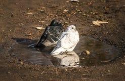 Black and white pigeons Stock Photo