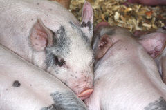 Black and white piglets asleep in a barn Stock Photo
