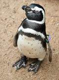 Black and white pinguin Royalty Free Stock Images
