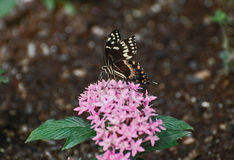 Black and white pipevine swallowtail butterfly Stock Photography