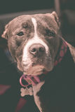 Black and White Pit Bull Royalty Free Stock Image