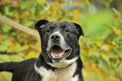 Black and white pit bull dog crossbreed Stock Photo