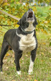 Black and white pit bull dog crossbreed Royalty Free Stock Photo