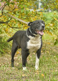 Black and white pit bull dog crossbreed Royalty Free Stock Images