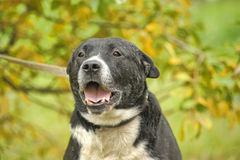 Black and white pit bull dog crossbreed Stock Photography