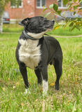 Black and white pit bull dog crossbreed Royalty Free Stock Photos
