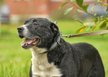 Black and white pit bull dog crossbreed Stock Image