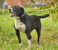 Black and white pit bull dog crossbreed Royalty Free Stock Photography