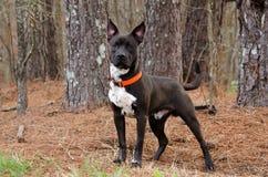 Black and White Pitbull Bulldog mixed breed dog Stock Photos