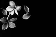 Black and white Plumeria background. Black and white Plumeria Flower background Royalty Free Stock Photo