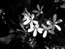 black and white plumeria flower Stock Photo