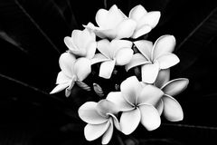 Black and white Plumeria. The black and white image of the Plumeria flowers Stock Images