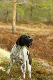 Black-white pointer dog Royalty Free Stock Images