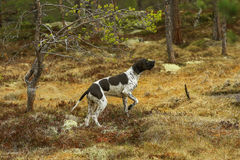 Black-white pointer dog Royalty Free Stock Photography