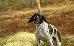 Black-white pointer dog Royalty Free Stock Photos