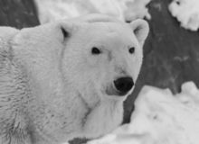 Black and white Polar bear portrait with snow background. Black and white Polar bear portrait Ursus maritimus with white snow and rocks background royalty free stock photo