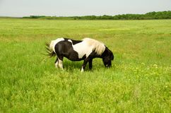 Black and white pony grazes on a green field.  Royalty Free Stock Photo