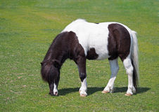 Black and white pony on green lawn Stock Photos