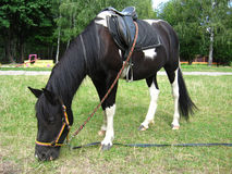 Black and white pony with a saddle Stock Images