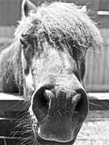 Black and White Pony. A pony sticks it's nose out at the camera to see what's happening and pose. Shot in black and white with only nose in sharp focus Royalty Free Stock Images