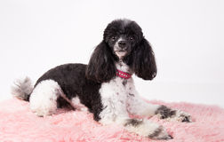 Black and white poodle Stock Photography