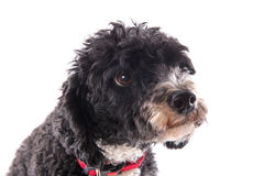 Black and white poodle Royalty Free Stock Photos