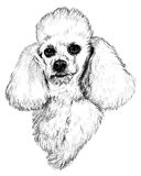 Black and White Poodle Portrait Stock Photography