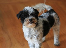 Black and White Poodle puppy Royalty Free Stock Photo