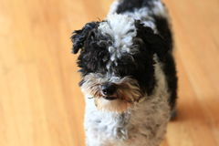Black and White Poodle puppy Royalty Free Stock Photos