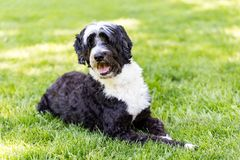 Portuguese Water Dog Posing on a Lawn of Grass. A black and white Portie with a gorgeous wavy coat poses for the camera with a big smile.  He can see you behind Royalty Free Stock Photo