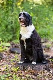Portuguese Water Dog Posing on a Stump in the Woods. A black and white Portie with a gorgeous wavy coat poses for the camera with a big smile Stock Photo