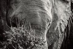 Black and white portrait of African elephant behind the bush in National park. In South Africa royalty free stock images