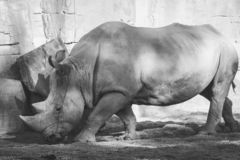 Black and white portrait of an african white rhinoceros, Ceratotherium simum, in stock photos