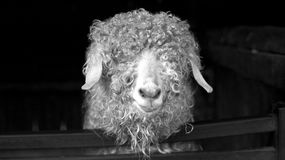 Angora Stock Photography
