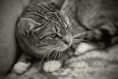 Black-and-white portrait of an angry striped cat. Stock Images