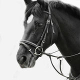Black and white portrait of arabian stallion Stock Images