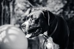 Black-and-white portrait of a big dangerous dog royalty free stock images