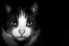 Black and white Portrait of a cat with  green eyes Royalty Free Stock Image