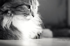Black and white portrait of a cat on a window sill Royalty Free Stock Image