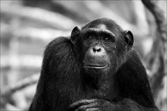 Black and white portrait Chimpanzee. Stock Photo