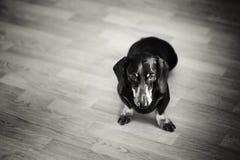Black and White Portrait of Dachshund Dog Stock Image