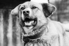 Black and white portrait of a dog Royalty Free Stock Photography