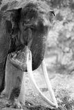 Black and White Portrait of Elephant Stock Images