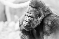 Black and White Portrait of Gorilla Royalty Free Stock Photos