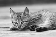 Black and white portrait of a kitten Royalty Free Stock Image